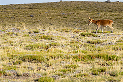 16-09-2018 ESP: BvdGF La Vuelta a Sierra Nevada day 2, Pico del Veleta<br /> Second day of the mountainbike and cycling challenge from Capileira to Pico del Veleta (3396m) / Sierra Nevada steenbok (Capra pyrenaica hispanica)