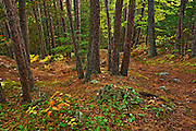 red pine forest on Granite Ridge Trail<br /> Killarney Provincial Park<br /> Ontario<br /> Canada