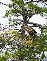 A young bald eagle sits in a tree at Moon Island on Squam Lake.  (Karen Bobotas/for the Laconia Daily Sun)