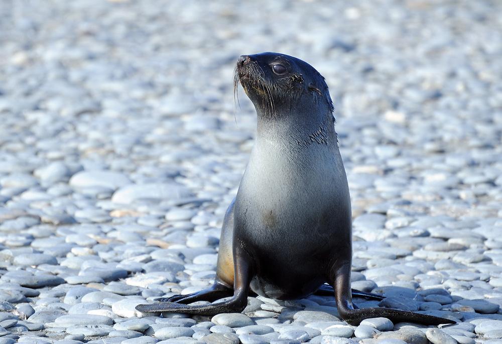 An antarctic fur seal (Arctocephalus gazella)  on the beach at Salisbury Plain.  Salisbury Plain, South Georgia. 19Feb16