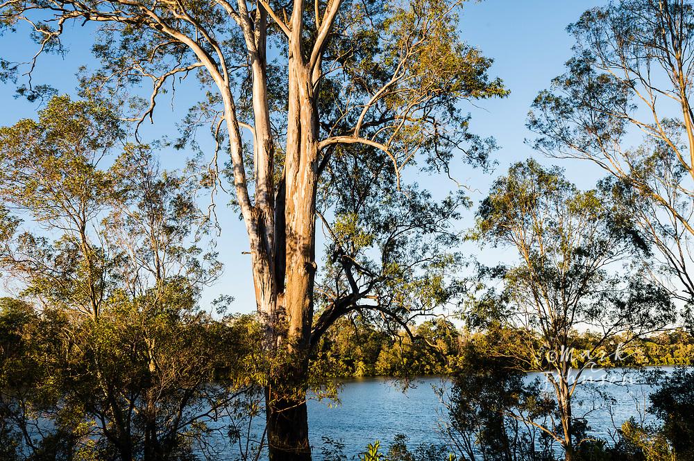 Eucalyptus trees on the banks of the  Brisbane River, Yeronga, Brisbane, Queensland, Australia