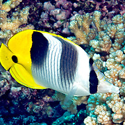 Pacific Double Saddle Butterflyfish inhabit reefs. Picture taken Fiji.