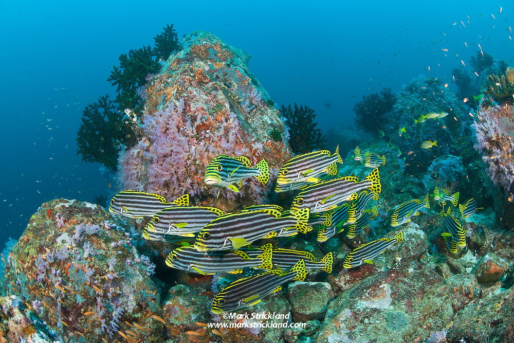 A school of Oriental Sweetlips, Plectorhinchus orientalis, hover amidst rocky terrain that is adorned with small soft corals and Tubastraea Coral trees.  Fish Rock, Andaman Islands, India, Andaman Sea / Bay of Bengal