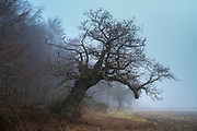 Misty winter morning in The Cotswolds, Oxfordshire, UK. Falling ancient English oak tree reclining on a slant.