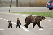 Grizzly bear cubs of the year cross a road in Wyoming