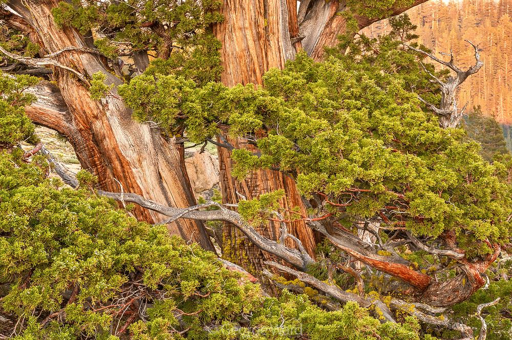 Western Juniper, Ebbetts PassStanislaus National Forest, California