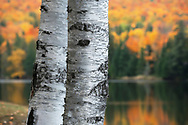 White Birch trees stand out against vibrant fall fall colors in Michigan's Upper Peninsula.
