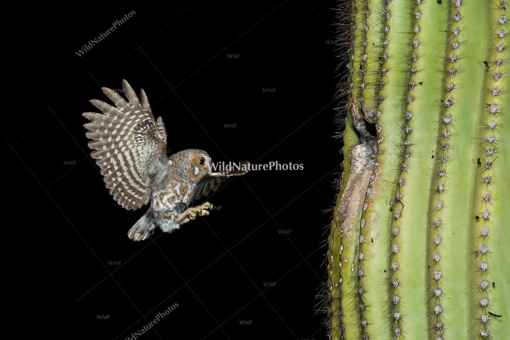 A male Elf Owl (Micrathene whitneyi) flying in to a nest in a Saguaro cactus (Carnegiea gigantea). (Tucson, Arizona)