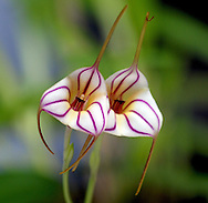 A vivid pair of pink-striped masdevallia orchid flowers<br /> <br /> More about this image on the blog: https://goo.gl/ZD8sdU