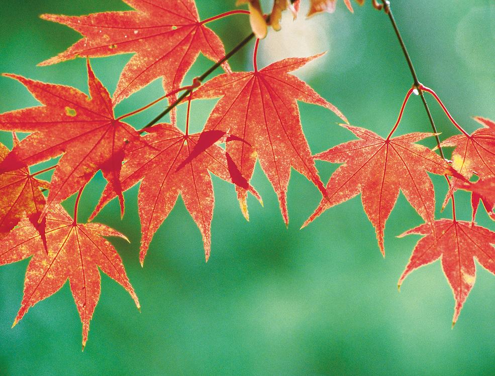 Brilliant red Japanese Maple tree leaves