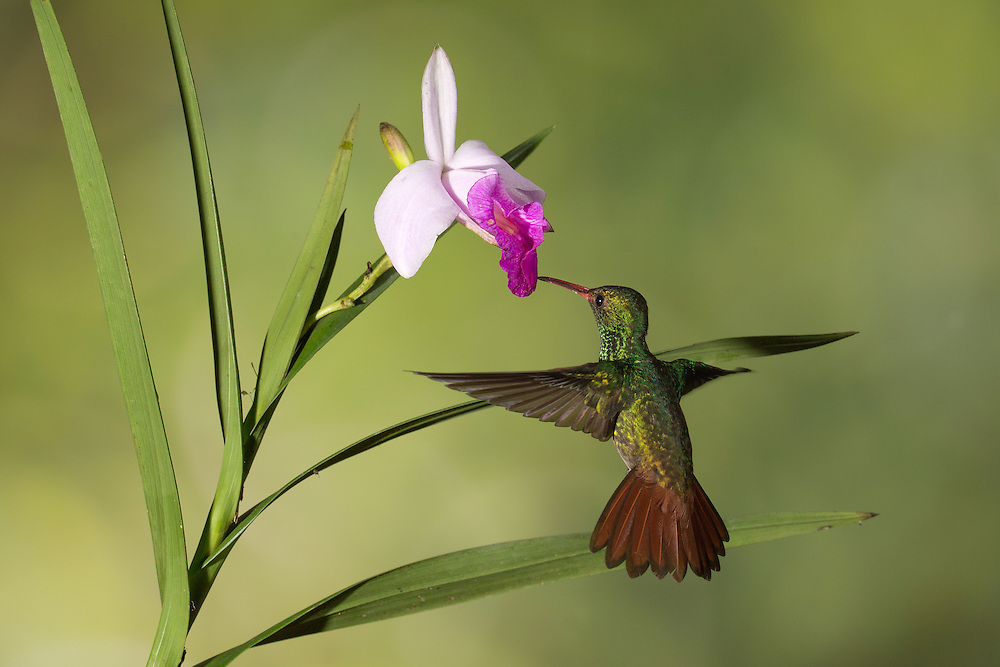 """Rufous Tail hummingbird<br /> <br /> Available sizes:<br /> 12"""" x 18"""" print <br /> <br /> See Pricing page for more information. Please contact me for custom sizes and print options including canvas wraps, metal prints, assorted paper options, etc. <br /> <br /> I enjoy working with buyers to help them with all their home and commercial wall art needs."""