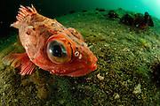 Patagonian redfish (Sebastes oculatus) [size of single organism: 4 0 cm] Comau Fjord, Patagonia, Chile |