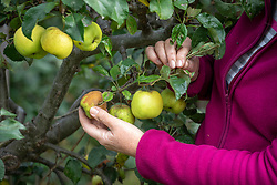Removing rotten apples to prevent rot spreading