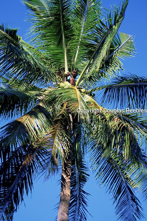 Man Triming Coconuts, Wuvulu Island, Bismark Archipelago, Papua New Guinea, (editorial use only- no model release)<br />