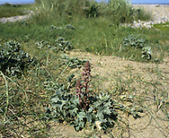 CARROT BROOMRAPE Orobanche minor ssp. maritima (Height to 50cm) is similar to Common Broomrape but shows subtle differences in the flower structure: the back of the corolla is straight, not curved (Jun-Jul). This species grows on coastal sand and is a parasite of Sea-Holly and Sea Carrot. It also grows, very locally, on the Isle of Wight.