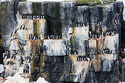 A large mixed breeding colony of Arctic Brünnich's guillemots  (Uria lomvia) and Kittiwakes (Rissa) perch on narrow cliff ledges of Alkefjellet in Svalbard, Norway