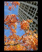 Arizona Ash tree in the fall on Arizona State University Tempe campus