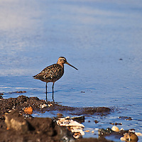 A short-billed dowitcher (Limnodromus griseus) pauses while foraging on horseshoe crab eggs, Port Mahon, Delaware.