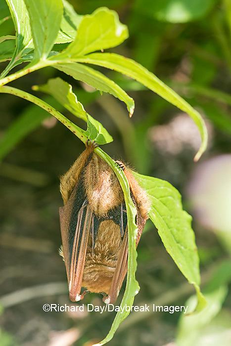 01825-002.01 Eastern Red Bat (Lasiurus borealis) Marion Co. IL
