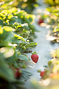 Organic strawberries grow on one of the many incubator farms which is part of the ALBA program in Salinas, CA.