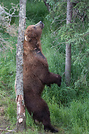 Bear 856, one of the most dominant brown bears on the Brooks River in Alaska in 2018, leaves a scent mark on a tree.