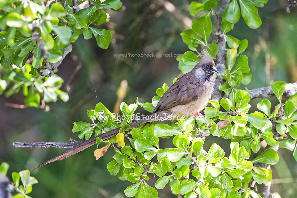 Speckled mousebird (Colius striatus) fluffed up and perching on a bush. It is sunning with its abdomen bared to the Sun to aid digestion. Photographed in Tanzania