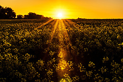 The sun rises over rapeseed fields in Bingham, Nottinghamshire, as the blast of Arctic weather that has brought snow to northern Scotland continues to move south.