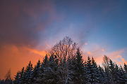 Incoming spring snowstorm at sunset over young spruce stand and lone maple, Nīcgale, Latvia Ⓒ Davis Ulands | davisulands.com