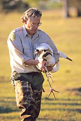 Steve Nesbitt & Whooping Crane With Transmitter