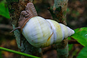 A Florida tree snail (Liguus fasciatus) climbs a tree along the Gumbo Limbo Trail in the Everglades National Park, Florida. The trail winds through a tropical hardwood hammock, a dense forest that forms only in areas that are protected from fires and floods. This area is only three feet higher than the neighboring wetlands. There are 52 different color forms of the Florida tree snail found in south Florida.