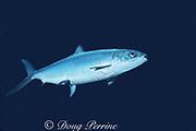 milkfish or awa, Chanos chanos, Oahu, Hawaii, USA