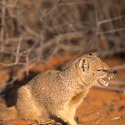 Yellow Mongoose, (Cynictis penicillata) Sitting in red Kalahari sand near bush cover, yawning. Kalahari Desert. Africa.