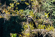 American black vultures gather in a tree at the Cascada de Texolo waterfall near Xico, Veracruz, Mexico.