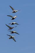 Five male Comon Eider and one female in vertical flight formation, captured at Jökulsárlón, Iceland   Fem hann ærfugl, og en hunn som flyr i vertikal formasjon. Bildet er tatt ved Jökulsárlón, Island.