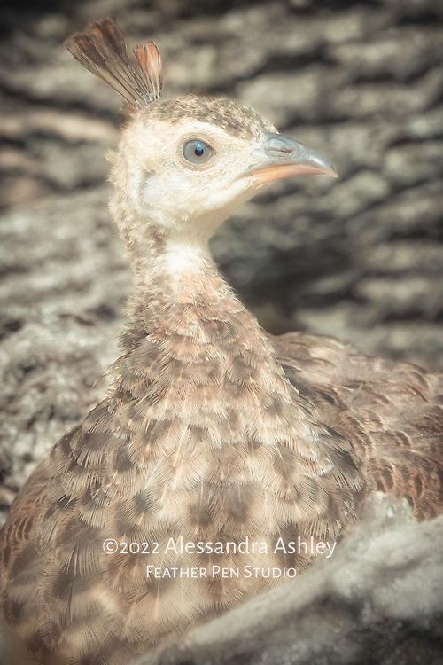Peafowl chick, three months of age, resting on a  woodpile in sunshine.