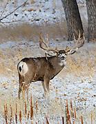 Large Mule Deer buck in autumn habitat.