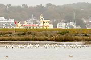 Spoonbills (37) on Brownsea Island lagoon. Poole Harbour, Dorset, UK.