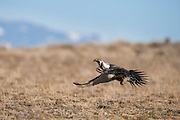 Sage Grouse male taking off