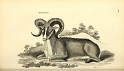 argali, mountain sheep (Ovis ammon) from General zoology, or, Systematic natural history Vol II Part 2 Mammalia, by Shaw, George, 1751-1813; Stephens, James Francis, 1792-1853; Heath, Charles, 1785-1848, engraver; Griffith, Mrs., engraver; Chappelow. Copperplate Printed in London in 1801 by G. Kearsley