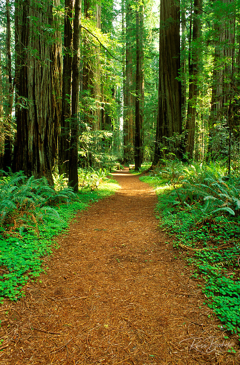 Trail through old growth Redwoods in the Stout Grove, Jedediah Smith Redwoods State Park, Redwood National Park, California.