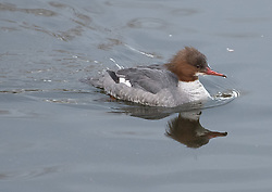 Bird in Figgate Park, Portobello, Edinburgh Pictured: Female Goosander<br /> <br /> <br /> © Jon Davey/ EEm