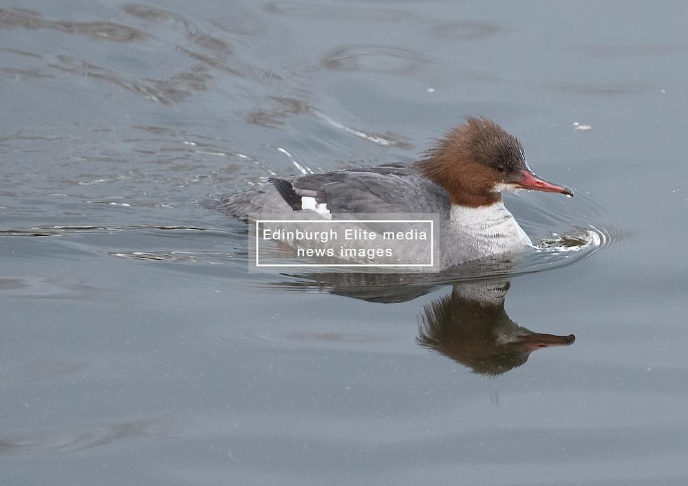 Bird in Figgate Park, Portobello, Edinburgh Pictured: Female Goosander<br /> <br /> <br /> © Jon Davey/ EEm