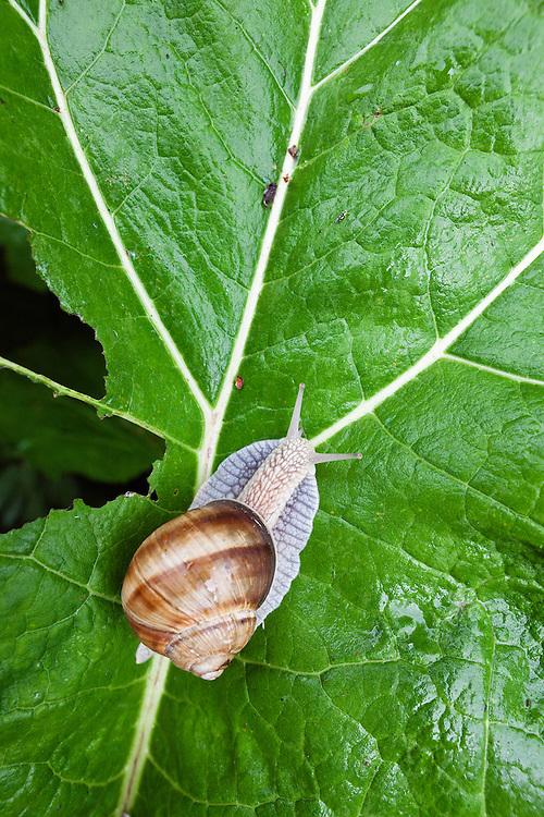 Large Garden Snail, Helix pomatia, Poloniny National park, Western Carpathians, Eastern Slovakia, Europe