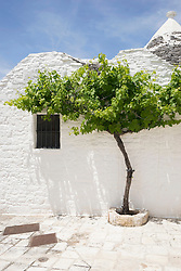 Vine tree in front of trulli house, Puglia, Italy
