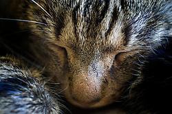 Feral male tabby cat sleeping, England, United Kingdom.
