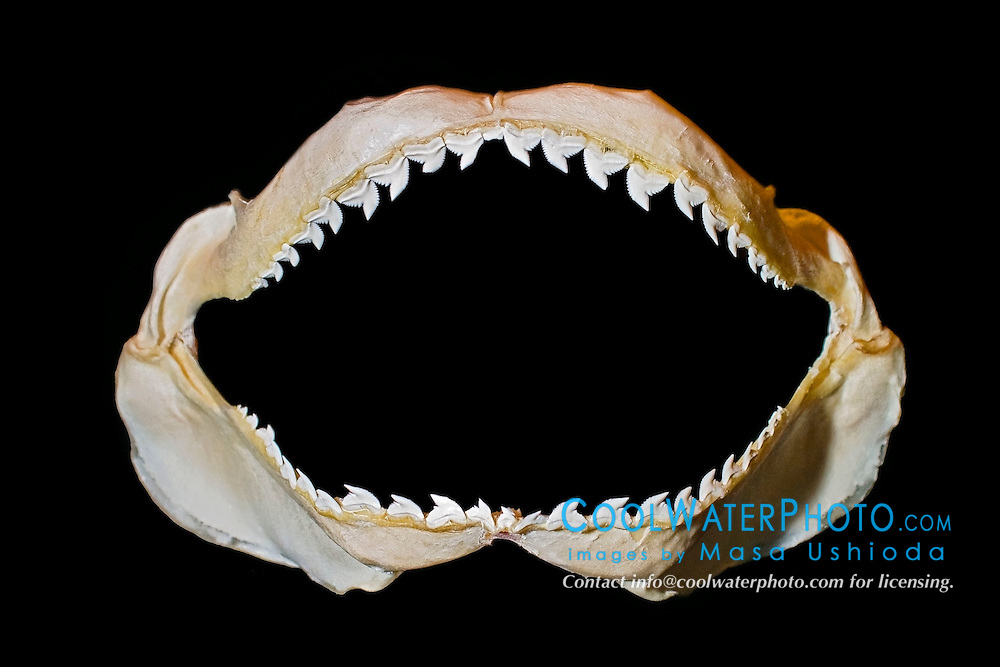 jaws of tiger shark, Galeocerdo cuvier - hooked cusps hold prey and serrated edges cut out bites, differences in shark tooth size and shape reflect what and how they prey on, Hawaii