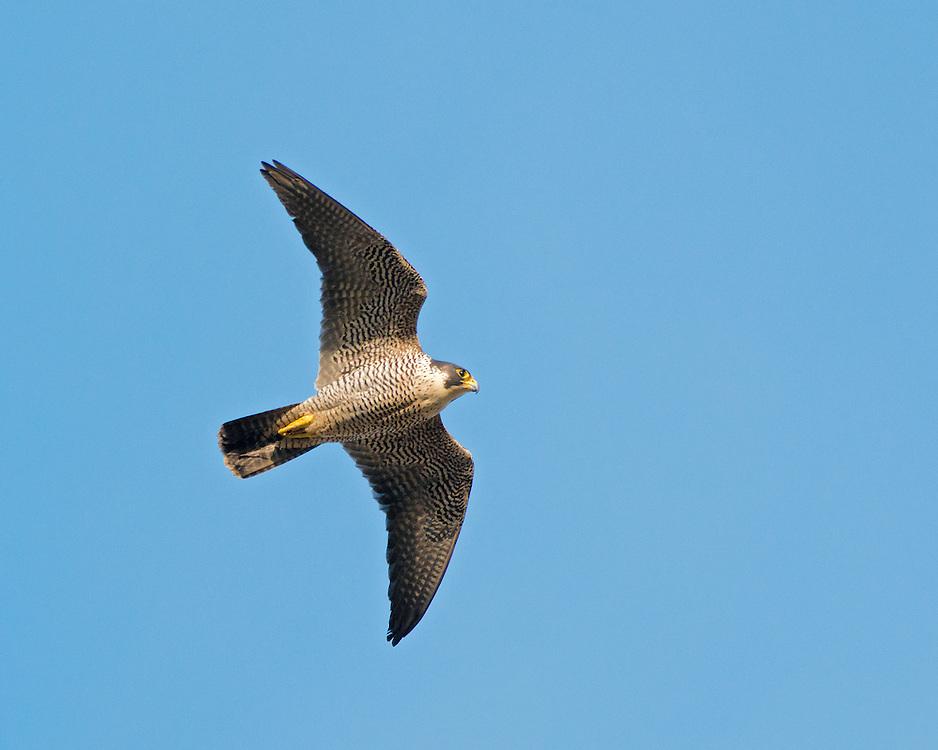 Peregrine - Falco peregrinus