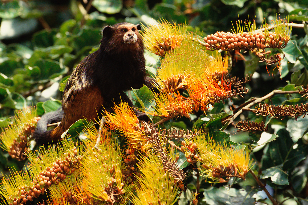 Saddleback Tamarin in Canopy<br />Saguinus fuscicollis<br />Madre de Dios, Amazon Rain Forest, PERU  South America<br />RANGE; East of Andes, Colombia, Ecuador, Peru, Bolivia & Brazil