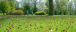 Meadow of Fritillaria meleagris - Snake's head fritillary - at Magdalen College, Cambridge. Chequered lily
