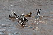 A Nile crocodile, Crocodilus niloticus, attacks a plains zebra, Equus quagga, crossing river Mara.
